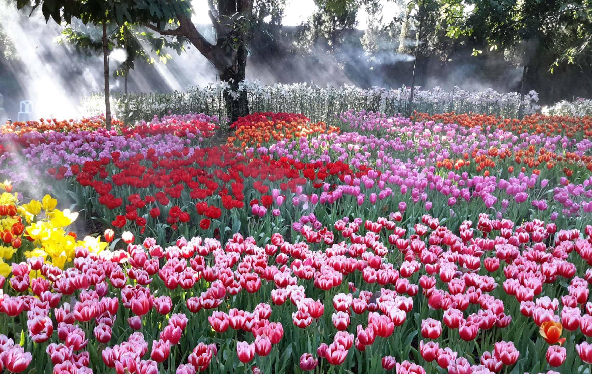 chiang rai tulip festival